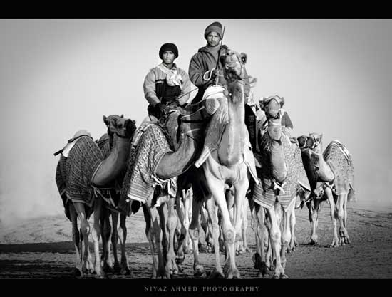 Black and white photo men sitting on camels with 3 additional camels in tow.